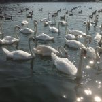 2.1-Bevy-of-Swans