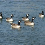 2.14-Canadian-Geese