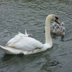 6.5-Cygnets-on-pens-Back