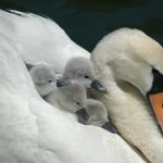 6.6-Cygnets-on-Pens-Back